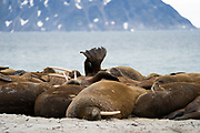 Atlantic walrus,Odobenus rosmarus rosmarus,Atlantic,walrus,Odobenus rosmarus,squabbling,arguing,fighting,fight,gregarious,animal,aquatic,arctic,biology,carnivore,walruses,herd,many,spitzbergen,Island,Svalbard Archipelago,Norway,carnivorous,fauna,fish-eater,fish-eating,mammal,marine,nature,oceanic,pescivore,pescivorous,pinniped,wildlife,zoology,animals,flipper,group,heard,shore,head,mammals,Spitsbergen,north pole,norwegian,piscivore,piscivorous,svalbard,psi,ebartov