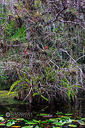Bald cypress tree with bromeliads in swamp at Big Cypress National Preserve, Florida, USA