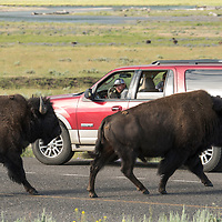 The American bison, often mistakenly called a buffalo, roam in large herds in the Lamar Valley of Yellowstone National Park and often cross paths with humans and traffic.