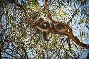 The koala, or, inaccurately, koala bear - is an arboreal herbivorous marsupial native to Australia. It is the only extant representative of the family Phascolarctidae and its closest living relatives are the wombats, which comprise the family Vombatidae. The koala is found in coastal areas of the mainland's eastern and southern regions, inhabiting Queensland, New South Wales, Victoria, and South Australia. It is easily recognisable by its stout, tailless body and large head with round, fluffy ears and large, spoon-shaped nose. The koala has a body length of 60–85 cm (24–33 in) and weighs 4–15 kg (9–33 lb). Pelage colour ranges from silver grey to chocolate brown. Koalas from the northern populations are typically smaller and lighter in colour than their counterparts further south. These populations possibly are separate subspecies, but this is disputed.<br /> <br /> Koalas typically inhabit open eucalypt woodlands, and the leaves of these trees make up most of their diet. Because this eucalypt diet has limited nutritional and caloric content, koalas are largely sedentary and sleep up to 20 hours a day. They are asocial animals, and bonding exists only between mothers and dependent offspring. Adult males communicate with loud bellows that intimidate rivals and attract mates. Males mark their presence with secretions from scent glands located on their chests. Being marsupials, koalas give birth to underdeveloped young that crawl into their mothers' pouches, where they stay for the first six to seven months of their lives. These young koalas, known as joeys, are fully weaned around a year old. Koalas have few natural predators and parasites, but are threatened by various pathogens, such as Chlamydiaceae bacteria and the koala retrovirus, as well as by bushfires and droughts.