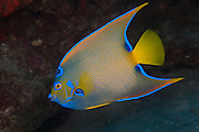 Queen Angelfish, Holacanthus ciliaris, photographed in the Breakers Reef in Palm Beach, FL