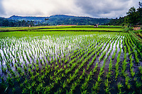 Indonesia, Sulawesi, Remboken. Remboken is a small village near Lake Tondano in the Minahasa highlands. A rice field.