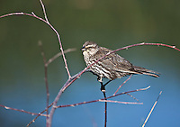 A female Red-winged Blackbird (Agelaius phoeniceus)  Brown above and heavily streaked brown below; a sharp-pointed bill with whiteish eyebrow.  Found mostly in marshes and meadows.