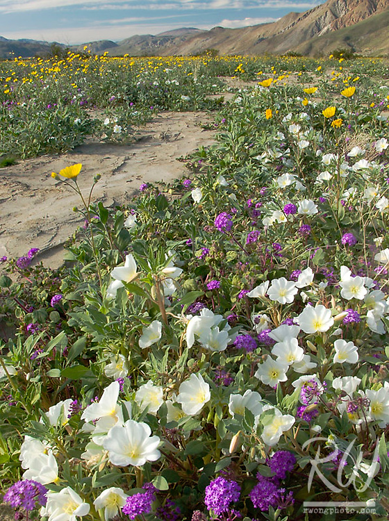 Spring Wildflowers at Anza Borrego Desert State Park, California