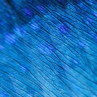 Close-up shot of the dorsal fin of a Dorado/Mahi-Mahi