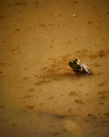 Kermit the Bullfrog. Image taken with a Nikon N1V3 camera and 70-300 mm VR lens