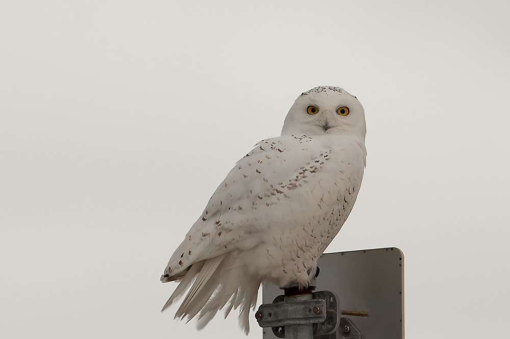 Snowy Owl Portrait Syracuse NY Airport