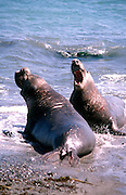 Male Elephant Seals Challenging Each Other on Piedras Blancas Beach California