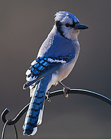 Blue Jay. Image taken with a Nikon D5 Camera and 600 mm f/4 VR lens (ISO 280, 600 mm, f/4, 1/640 sec)