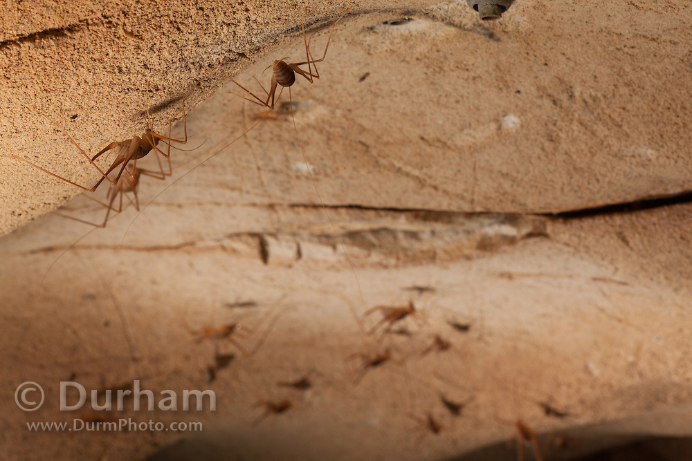 Cave cricket (Hadenoecus subterraneus) inside Mammoth Cave, Mammoth Cave National Park, Kentucky. © Michael Durham.