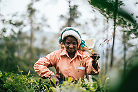 Ella, Sri Lanka -- February 2, 2018: Women pick leaves at a tea plantation in the hills of central Sri Lanka.
