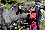 Van Gujjars begin milking by taking some of the buffalo's milk into their own mouths and spitting it into the mouth of the buffalo they are about to milk. They say it relaxes the animal, helping it give milk more easily.