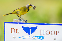 Bokmakierie on De Hoop Nature Reserve sign, De Hoop Nature Reserve, Western Cape, South Africa