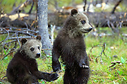 Two Young Grizzly cubs in Habitat