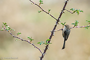 The bushtit flitted on the branch, hung upside down to search the underside of the branch.  It quickly moved along the branch, never staying in one place for more than a second or two.
