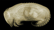 X-ray of a Nine-banded Armadillo (Dasypus novemcinctus).