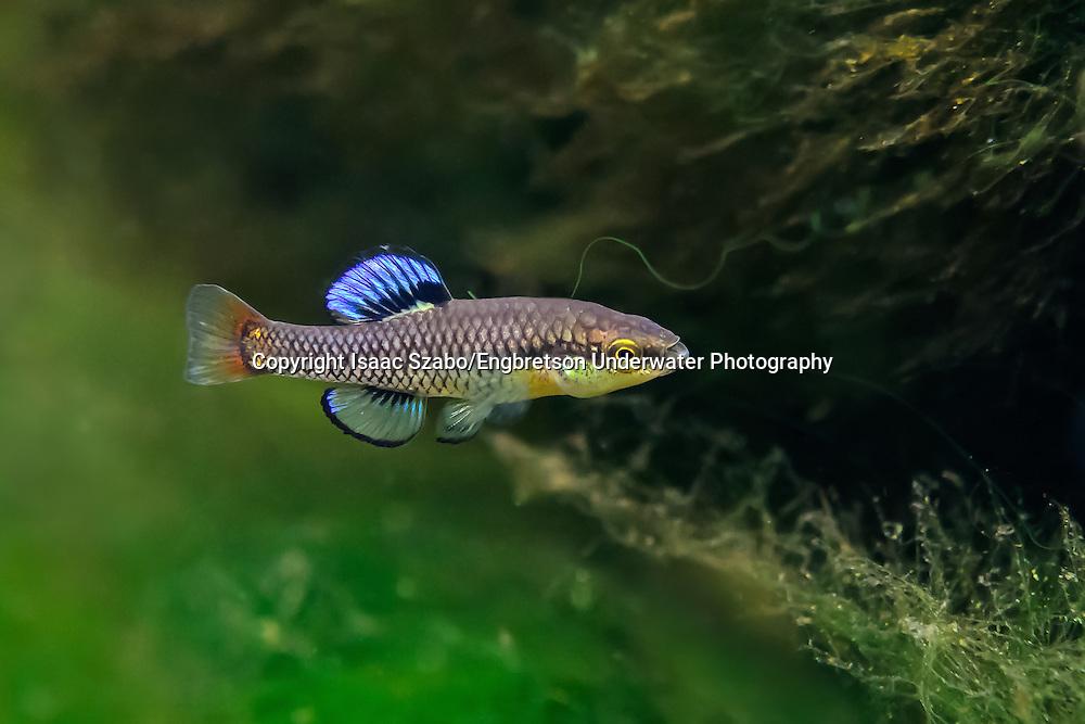 Bluefin Killifish<br /> <br /> Isaac Szabo/Engbretson Underwater Photography