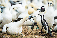 Cape Gannet and African penguin squabbling, Bird Island, Algoa Bay, Eastern Cape, South Africa