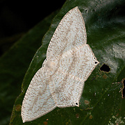 Micronia sp moth. Micronia is a genus of moth of subfamily Microniinae of Family Uraniidae. Seen in Khao Yai National Park.