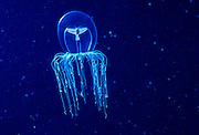 A small halimedusa jellyfish (Halimedusa typus). Oregon Coast.