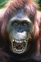Orangutan howling close-up