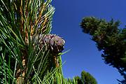 Cones of Swiss Stone Pine (Pinus cembra), Arolla Pine, High Tauern National Park (Nationalpark Hohe Tauern), Central Eastern Alps, Austria | Zirbel-Kiefer (Pinus cembra), Zirbelkiefer, Zirbel, Arve, Zapfen, Oberhauser Zirmwald, Nationalpark Hohe Tauern, , Osttirol in Österreich