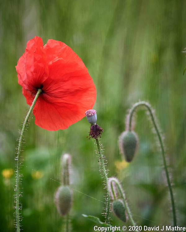 Red or Oriental Poppy. Image taken with a Nikon D5 camera and 600 mm f/4 VR lens