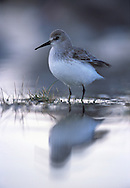 Dunlin at roost as tide rises