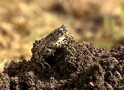 green toad (Pseudepidalea variabilis formerly in Bufo viridis or Pseudepidalea viridis) Photographed in Israel in December