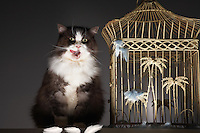 Cat sitting next to empty birdcage licking chops