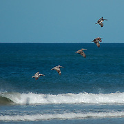 Flying in a perfect formation these pelicans put on an aerial display along the coast of Costa Rica
