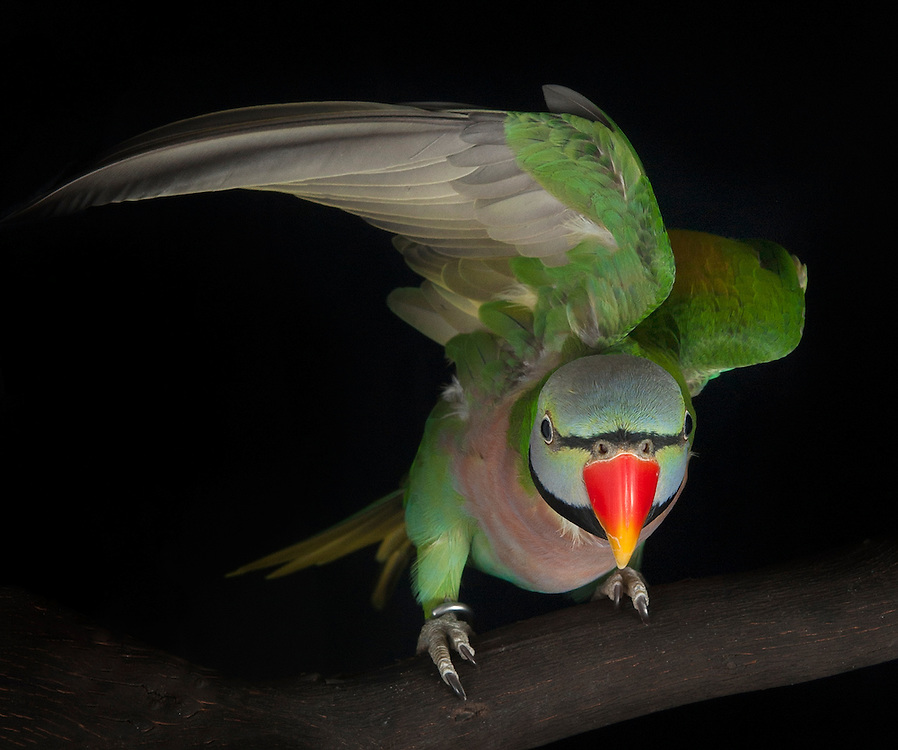 Red-breasted Parakeet, (Psittacula alexandri), captive, credit: Pandemonium Aviaries/M.D.Kern