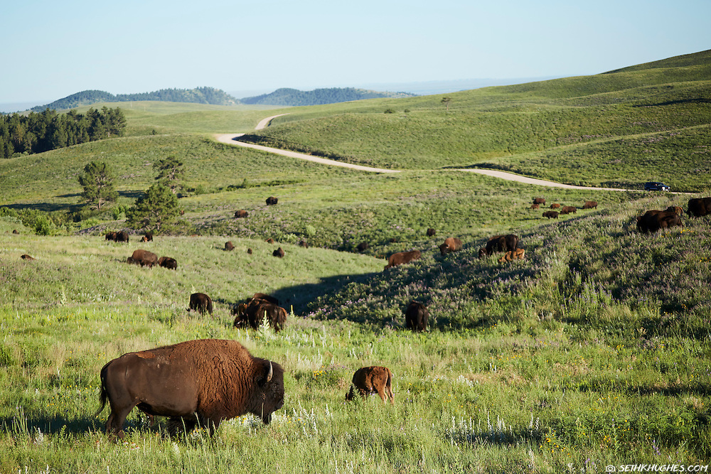 Bison graze in a grassy meadow near a road in Custer State Park, South Dakota.