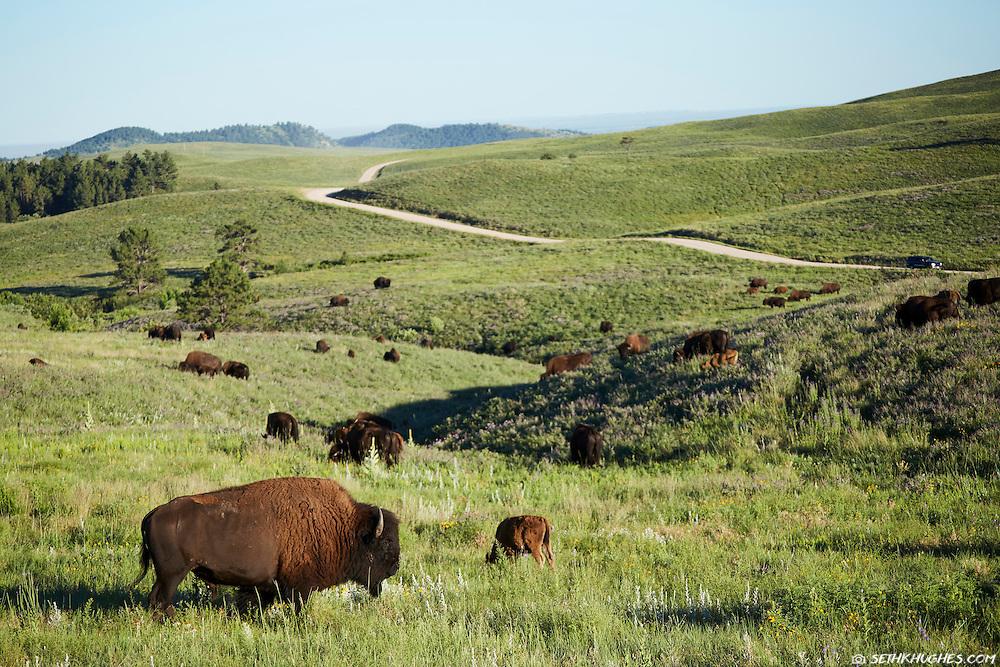 Bison graze in a grassy meadow near a road in Custer State Park, South Dakota.