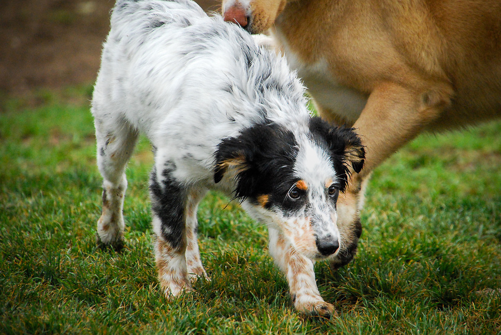 An Austrailan shepherd puppy walks with a big dog behind him in the park.