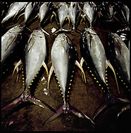 Morning catch of yellow fin tuna laid out in the pre-dawn to be auctioned to brokers at Katsuura fish market, Kii Peninsula, Japan.  Japan is known for having some of the richest fisheries in the world feed by the sub-tropical, Kurashio Current from the south which meets the sub-arctic, Oyashio Current mixing their nutrients off the coast of Fukushima Prefecture.  Climate change warming of seas will change this dynamic and a WWF reports suggests that fish species long associated with particular seasons may decline and it's possible some species will become extinct.  Katsuura, Wakayama Prefecture, Japan