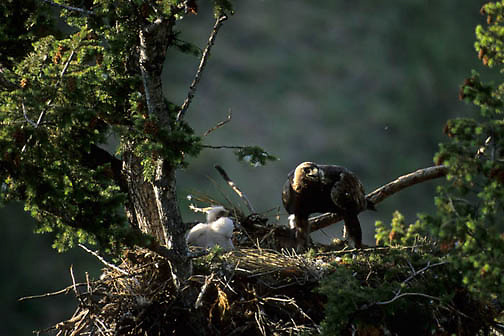 Golden Eagle, (Aquila chrysaetos) Adult with chicks in nest. Southwest, Montana.