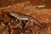 Gibber gecko