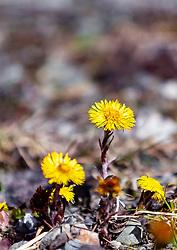 THEMENBILD - der Huflattich gehört zu den ersten Frühjahrsblumen, deren Blüten vor der Entwicklung der Laubblätter erscheinen. Der Huflattich (Tussilago farfara) ist eine Heilplanze, aufgenommen am 17. März 2019, Kaprun, Österreich // coltsfoot is one of the first spring flowers whose flowers appear before the leaves develop. The coltsfoot (Tussilago farfara) is a medicinal plant on 2019/03/17, Kaprun, Austria. EXPA Pictures © 2019, PhotoCredit: EXPA/ Stefanie Oberhauser