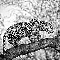 FEMALE LEOPARD CROUCHING IN TREE, SOUTH AFRICA, 2008<br /> The Ravensourt female looks for a confortable branch before disappearing into the bush in true leopard fashion.