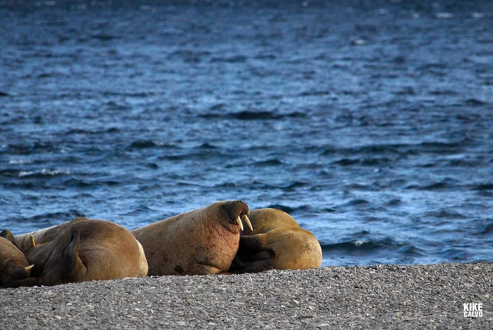 Walrus ( Odobenus rosmarus ). Maxwell Bay on Devon Island.  Lancaster Sound. HIgh Arctic. Canada.
