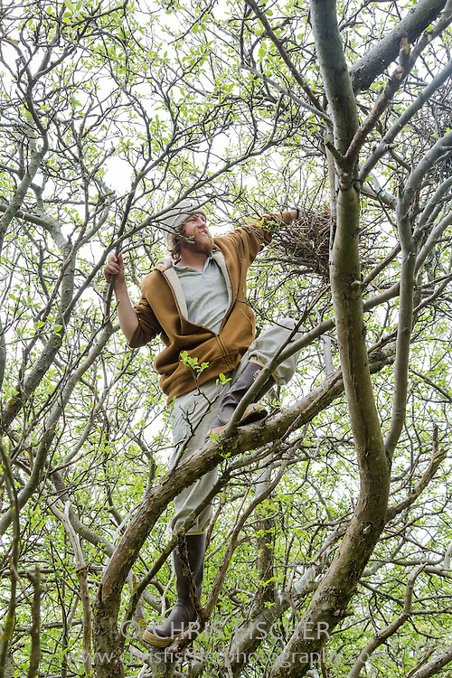 Up in a tree, biologist John Gorey reaches into a nest to count the number of eggs inside while conducting the 2013 Wading Bird Survey on Stratton Island, Maine.