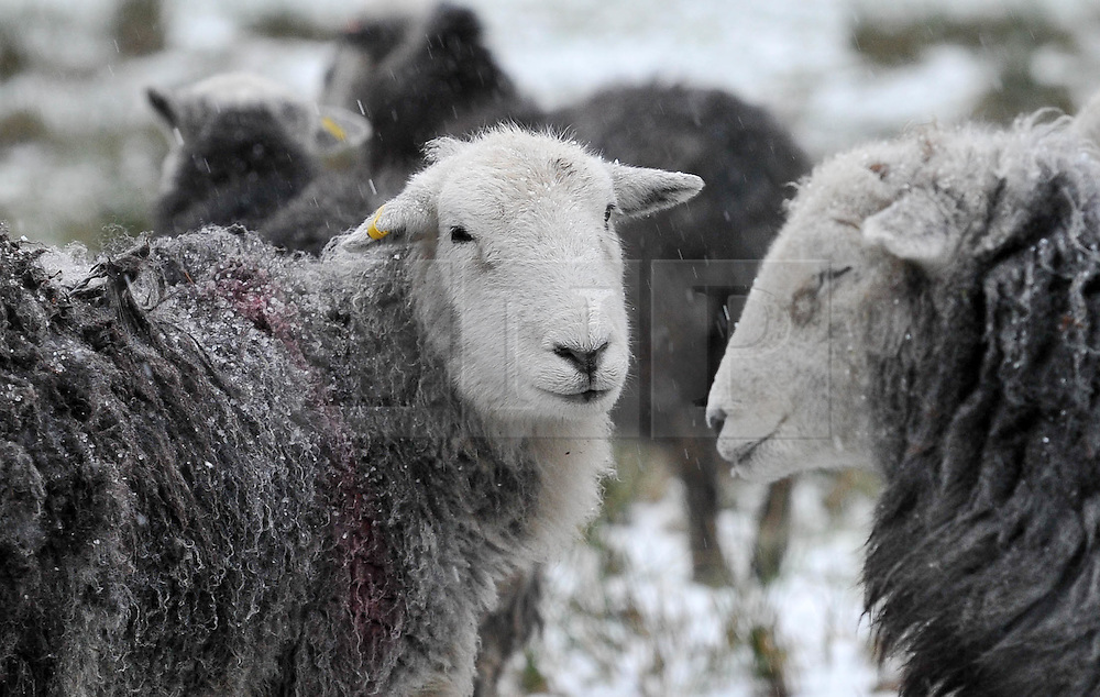 (c) Licenced to London News Pictures 29/01/2015. Cumbria, UK. Sheep in the heavy snowfall in the Lake District today 29th January 2015. Snow affects the higher fells in the Lake District. Photo credit : Harry Atkinson/LNP