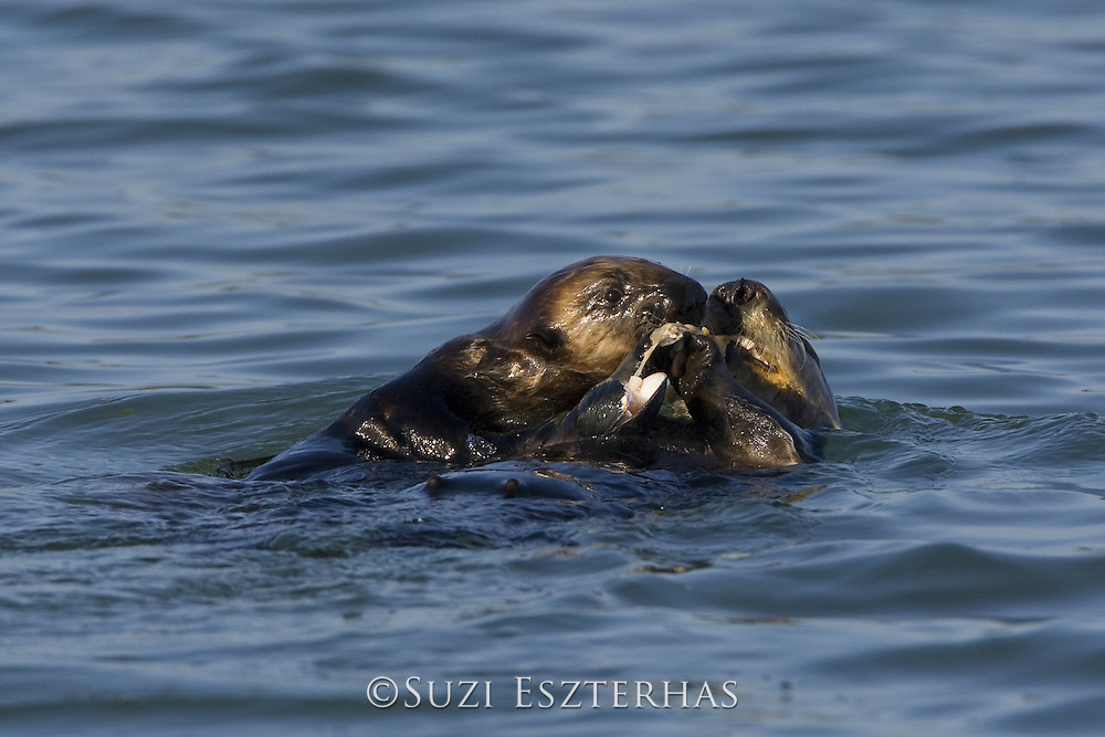 Southern Sea Otter<br /> Enhydra lutris<br /> 3-6 month old pup stealing food from mother<br /> Monterey Bay, CA, USA
