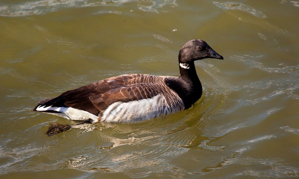 """A """"Brandt's Goose"""", all the previous geese were Canadian Geeses."""