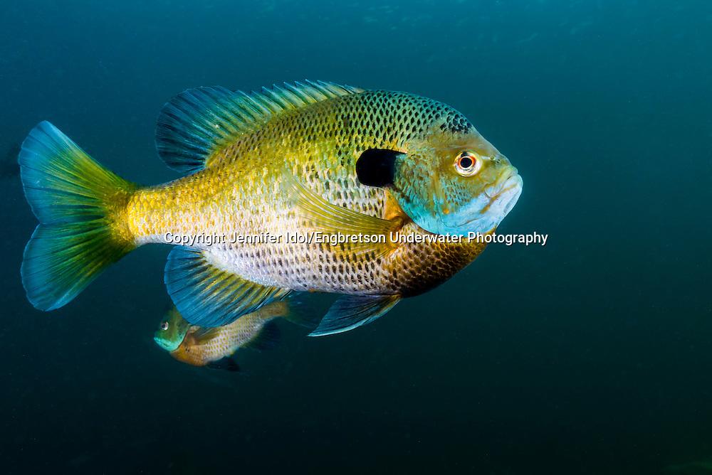 Bluegill<br /> <br /> Jennifer Idol/Engbretson Underwater Photography