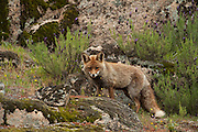 Red Fox (Vulpes vulpes)<br /> Sierra de And&uacute;jar Natural Park, Mediterranean woodland of Sierra Morena, north east Ja&eacute;n Province, Andalusia. SPAIN<br /> <br /> Mission: Iberian Lynx, May 2009<br /> &copy; Pete Oxford / Wild Wonders of Europe<br /> Zaldumbide #506 y Toledo<br /> La Floresta, Quito. ECUADOR<br /> South America<br /> Tel: 593-2-2226958<br /> e-mail: pete@peteoxford.com<br /> www.peteoxford.com