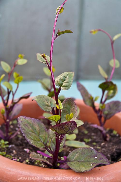 Red Malabar spinach (Basella rubra)