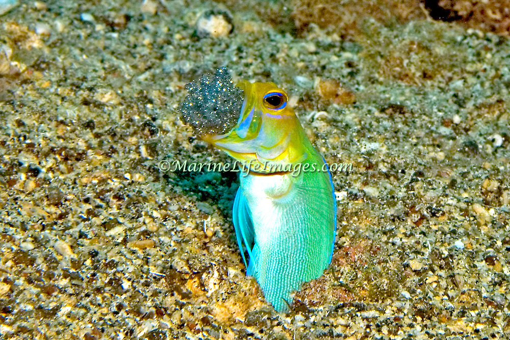 Reef Fish Behavior photography including reproduction, life cycle, feeding, camouflage, symbiosis, sense and communication.