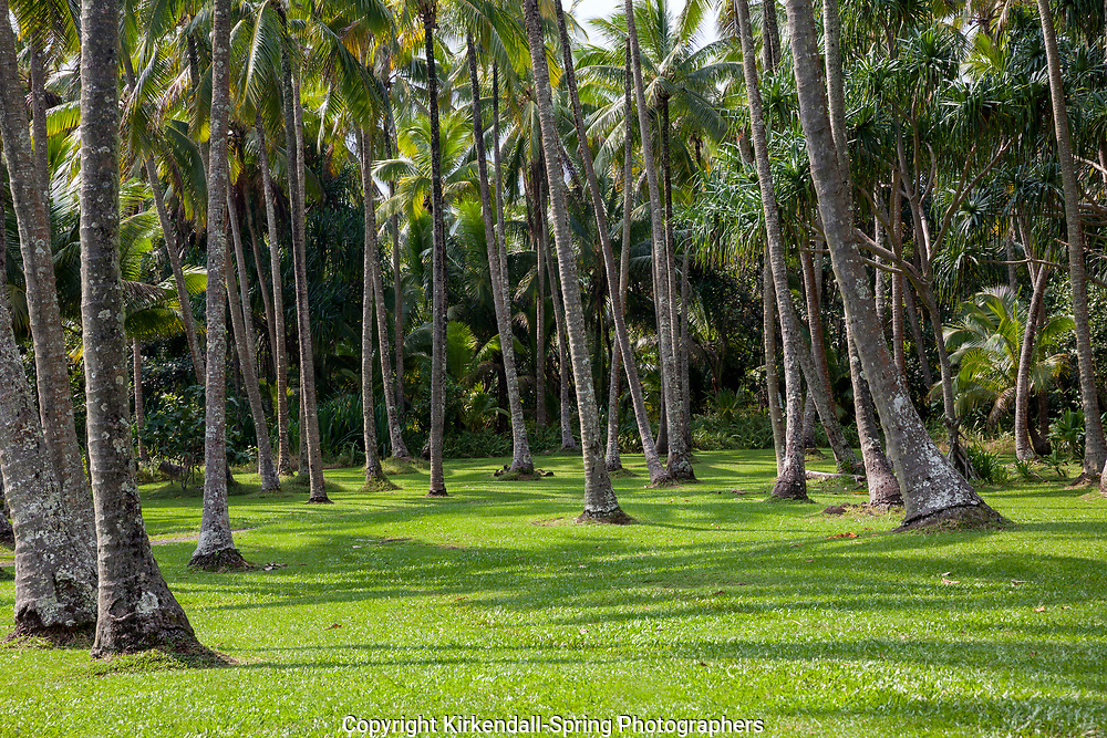 HI00359-00...HAWAI'I - Coconut trees (Cococ nucifea) at Ahalanui Beach Park on the island of Hawai'i.